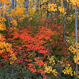 Aspens and maples by Michael Deak - Landscapes Forests