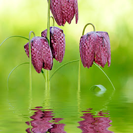Fritillaires pintades in the water by Gérard CHATENET - Digital Art Things