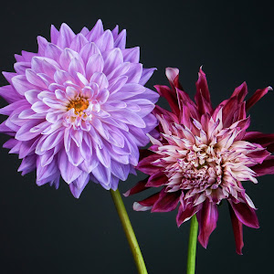 TWO DAHLIAS #1 PLUS-1.jpg