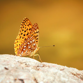 Coronis Fritillary  by Brandon Downing - Animals Insects & Spiders ( butterfly, nature, colorado, wildlife, bokeh )