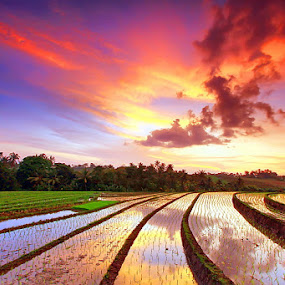 Sunset Upon The Rice Field by Agoes Antara - Landscapes Prairies, Meadows & Fields