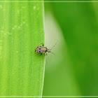 Charagochilus longicornis 長角紋唇盲蝽