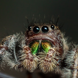 Phidippus Audax by Kenneth Martin - Animals Insects & Spiders ( macro, colorful, jumping spider, arachnid, phidippus audax )