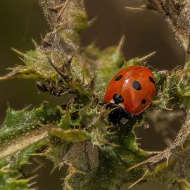 ladybird ladybird fly away by Chris Irv - Novices Only Macro ( macro, nature, wildlife, ladybird, flowers )