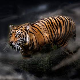 Tiger fog.jpg