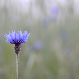 Cornflower by Kimberly Gintar - Novices Only Flowers & Plants