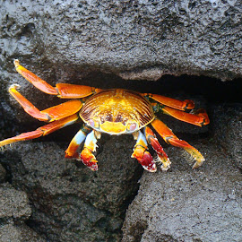 Sally Lightfoot Crab by Lee Davenport - Animals Sea Creatures