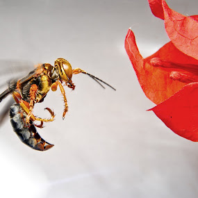 wasp towards flower by Jun Santos - Animals Insects & Spiders