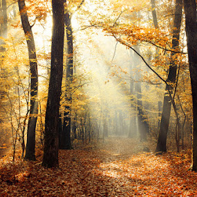2015-11-03_07 by Zsolt Zsigmond - Landscapes Forests ( forest, yellow, landscape, leaves, morning, woods, sun, autumn, fall, outdoor, sunrays, trees, sunrise,  )