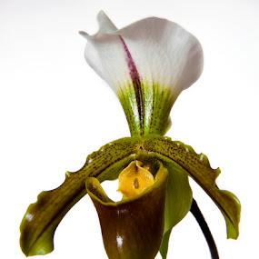 Paphiopedilum Leeanum by Simon Joubert - Flowers Single Flower ( paphiopedilum, leeanum, orchid, lady's slipper, floral, flower )
