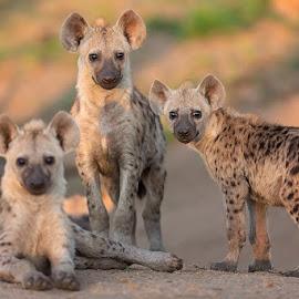 Threepack by Clive Wright - Animals Other Mammals ( wild, animals, pups, nature, park, bush, kruger, hyena )