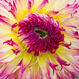 by Jim Jones - Flowers Single Flower ( flowers, dahlia, dahlias, colorful, flower )