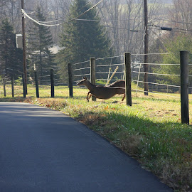 Under The Fence by Clare Suhanich - Animals Other Mammals ( different, nature, electric fence, smart, deer )