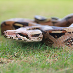 Snake by Jemmy Kusnandi - Animals Reptiles