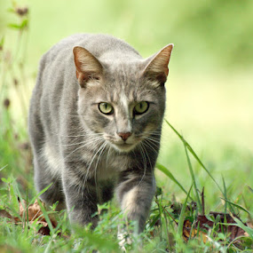 Back from the Hunt by Christy Borders - Animals - Cats Portraits ( cat, kitten, outdoors, feline, kitty )