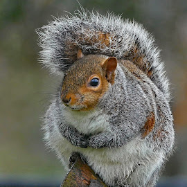 Bushy tailed squirrel by Joanne Calderbank  - Animals Other Mammals ( bushy tail, bright eye, branch, paws, squirrel )