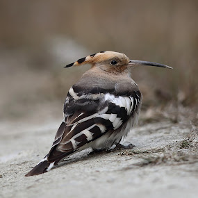Common Hoopoe by Vinchel Budihardjo - Animals Birds