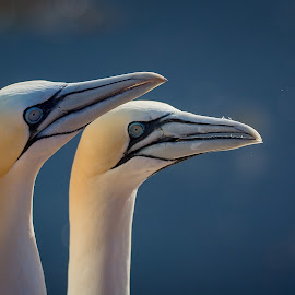 To look together by Jiri Cetkovsky - Animals Birds ( bassanys, morus, helgoland, couple, couple look )