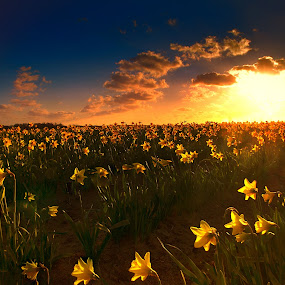 Golden Daffodils by Angel Weller - Landscapes Sunsets & Sunrises ( clouds, field, sunset, daffodils, glow )