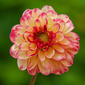 Red and Yellow Dahlia by Jim Downey - Flowers Single Flower ( red, pink, green, dahlia, yellow )