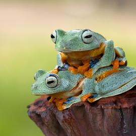 Dating by Kurito Afsheen - Animals Amphibians ( canon, tree frog, amphibian, frogs, animal )
