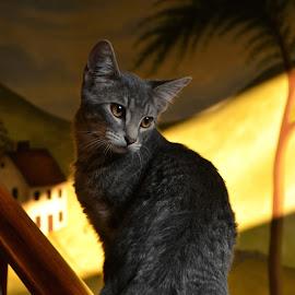 Banksy the Kitten by Lauren Galanty - Animals - Cats Kittens ( cat, kitten, pet, feline, tabby, domestic, kitty, animal )