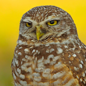 burrowing owl by Alan Potter - Animals Birds ( {add your keywords separated by semicolons} )