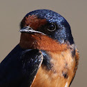 Barn Swallows (Leaving Their Nests)