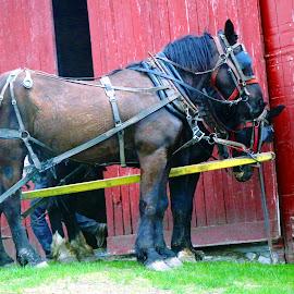 2 horses resting by Jon Radtke - Animals Horses ( 2 horses resting )