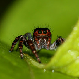 Jumping spider by Aditya Satpute - Animals Insects & Spiders ( macro photography, nature up close, spider, insect, natural )