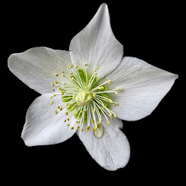 WI hellebore 04 by Michael Moore - Flowers Single Flower