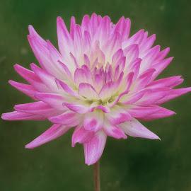 Pink flower by Jim Downey - Flowers Single Flower
