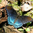 red-spotted purple [admiral]