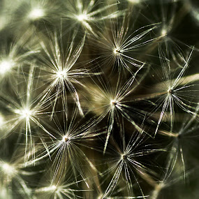Dandelion  by Alina Jumabhoy - Nature Up Close Leaves & Grasses ( detail, macro, nature, dandelion, weed, close up, flower )