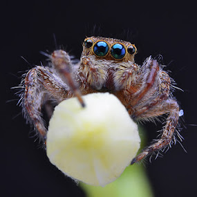 hello by Tele Nicotin - Animals Insects & Spiders ( jumping, phiddipus, spider, insect, closeup )