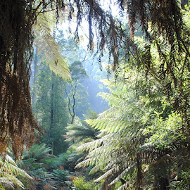 Healesville,Victoria, Australia by Renee Norton - Landscapes Forests