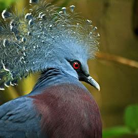 Goura Victoria by Bob Has - Animals Birds ( bird, pigeon, crown, ne-guinea )