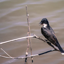 Kingbird by Jim Hendrickson - Novices Only Wildlife ( bird, kingbird, nature, beautiful, wildlife )