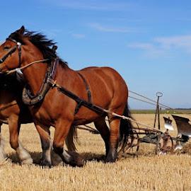 by Nico Kranenburg - Animals Horses ( blue sky, horses, labour, farming, fields,  )