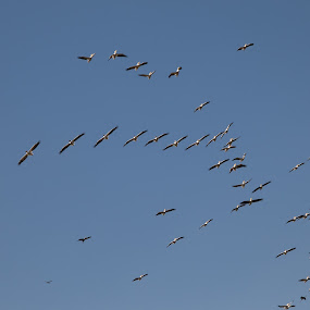 Flocking pelicans by Maya Bar - Animals Birds ( sky, valley, birds, pelicans,  )