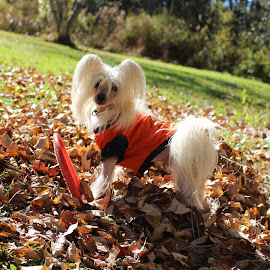 Fall fun  by Leanna Leger - Animals - Dogs Portraits ( pet, chinese crested, fall, dog portrait, dog )
