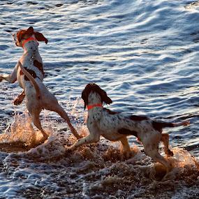 Sunset Doggies by Raphael RaCcoon - Animals - Dogs Running ( doggie, dogs, doggy, beach, surf )