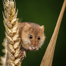Cute by Garry Chisholm - Animals Other Mammals ( garry chisholm, mouse, nature, wildlife, harvest, rodent )