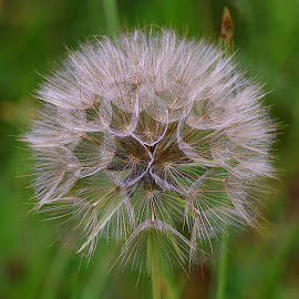 Delicate by Chrissie Barrow - Nature Up Close Other Natural Objects ( fluffy, nature, delicate, green, jack-go-to-bed-at-noon, brown, meadow salsify, seeds, bokeh, cream, closeup, seedhead )