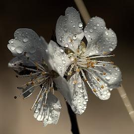 Almond tree flower by Renata Ivanovic - Flowers Tree Blossoms ( almond, tree, nature, white, close up, flower, blossom )