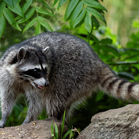 Friendly The cOOn by Raphael RaCcoon - Animals Other Mammals ( cute, handsome, raccoon, mammal, animal )