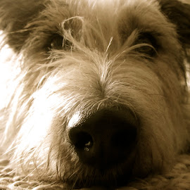Paddy by Fiona Childs - Animals - Dogs Portraits ( close up, textures, monochrome, sleepy, dog portrait,  )
