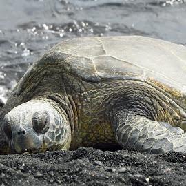 Nap Time II by Randi Hodson - Animals Reptiles ( beach, turtle, hawaii,  )