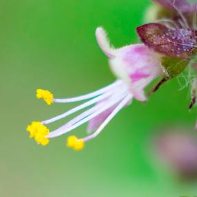 Basli flower macro closeup by Basant Malviya - Flowers Single Flower ( macro, bloom, nature, basli flower,  )