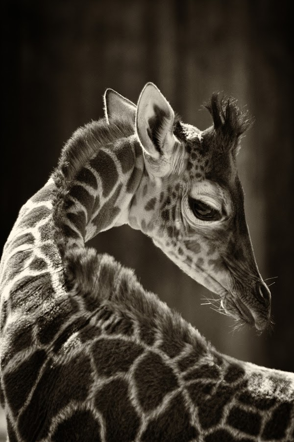 by Stacey Bates - Black & White Animals ( spots, neck, giraffe,  )